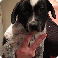 Adopt A Pet :: Bowie - Sugar Grove, IL