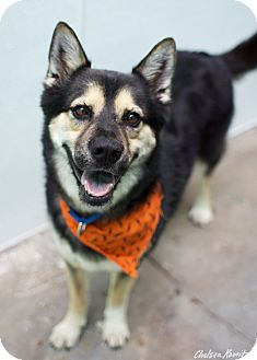 Shepherd (Unknown Type)/Husky Mix Dog for adoption in Los Angeles, California - BO