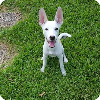 Basenji Mix Dog for adoption in Tomball, Texas - Lady