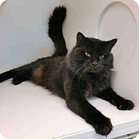 Maine Coon Cat for adoption in Texas City, Texas - PADDINGTON