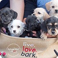 Adopt A Pet :: BELLE - Inland Empire, CA