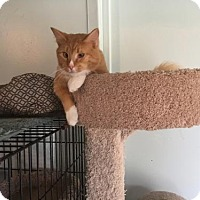 Domestic Shorthair Cat for adoption in Alpharetta, Georgia - Champ