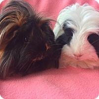 Adopt A Pet :: Lola - Steger, IL
