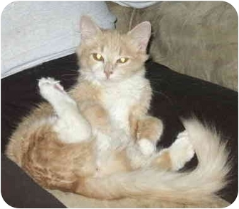 Domestic Mediumhair Cat for adoption in Crescent City, California - Peaches