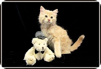 Domestic Mediumhair Kitten for adoption in Orlando, Florida - Sundrop