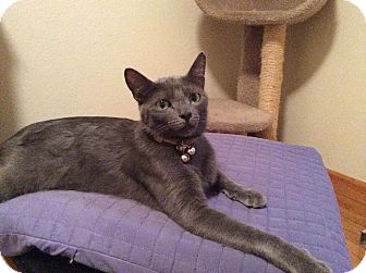 Russian Blue Cat for adoption in Cerritos, California - Smokey Boy