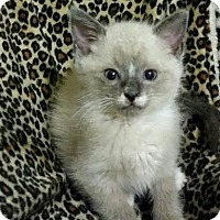 Adopt A Pet :: Ceasar ragdoll/siames - McDonough, GA