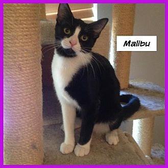 Domestic Shorthair Cat for adoption in Miami, Florida - Malibu