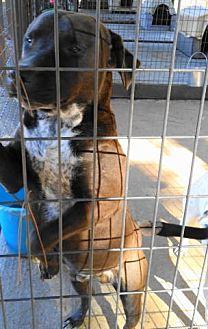 Labrador Retriever/Dalmatian Mix Dog for adoption in Tyler, Texas - A-Samson