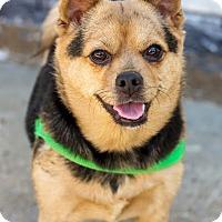 Adopt A Pet :: Muffin - Bronx, NY