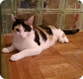 Calico Cat for adoption in Newport, Kentucky - Blossom