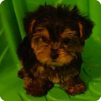 Adopt A Pet :: Sassy PENDING - Manchester, NH