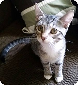 Domestic Shorthair Kitten for adoption in Hawk Point, Missouri - Rachel