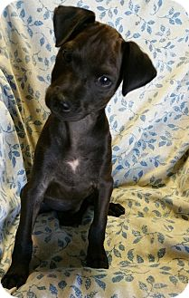 Miniature Pinscher Mix Puppy for adoption in Los Angeles, California - Adonis