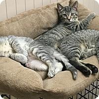 Domestic Shorthair Kitten for adoption in West Dundee, Illinois - Kira,Kurt,keeton