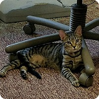 Domestic Shorthair Cat for adoption in Tampa, Florida - Roxie