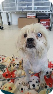 Lhasa Apso Mix Dog for adoption in Brownsville, Texas - Fluffer Nutter