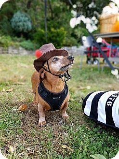 Dachshund Dog for adoption in Verona, New Jersey - Franz