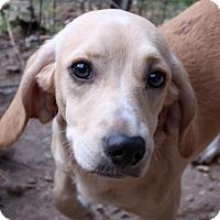Adopt A Pet :: Dazzle - Allentown, PA
