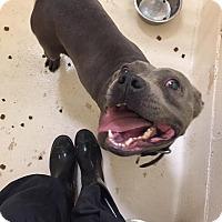 Adopt A Pet :: Bitsy - Southbury, CT