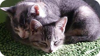 Domestic Shorthair Kitten for adoption in Cincinnati, Ohio - River
