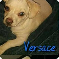 Adopt A Pet :: Versace - Whitestone, NY