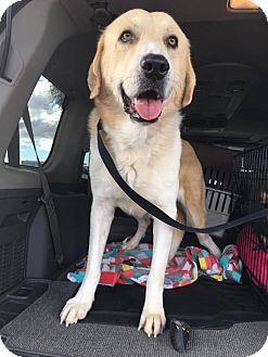Anatolian Shepherd/Golden Retriever Mix Dog for adoption in Phoenix, Arizona - Gouda