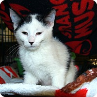 Adopt A Pet :: Domino - Rochester, MN