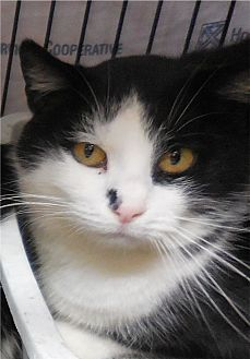 Domestic Shorthair Cat for adoption in Belvidere, New Jersey - Patrick