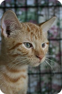 Domestic Shorthair Kitten for adoption in Frederick, Maryland - Alex