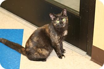 American Shorthair Cat for adoption in Hagerstown, Maryland - Prim Rose