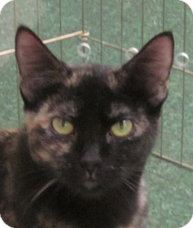 Domestic Shorthair Cat for adoption in Winchester, California - Haley