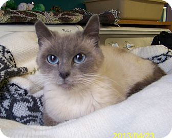 Siamese Cat for adoption in Dover, Ohio - Sparkles