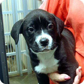 Boxer/Labrador Retriever Mix Puppy for adoption in baltimore, Maryland - Pierce