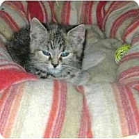 Adopt A Pet :: tabby girl - Etobicoke, ON