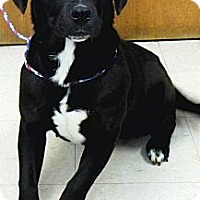 Adopt A Pet :: Shadow - Washington Court House, OH