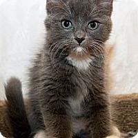 Adopt A Pet :: Boots - Irvine, CA