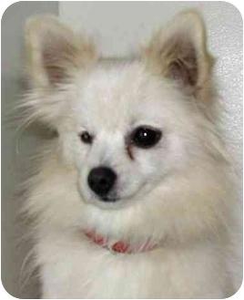 Pomeranian Dog for adoption in Rolling Hills Estates, California - Rosebud