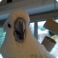 Adopt A Pet :: Spike Umbrella Cockatoo - Vancouver, WA
