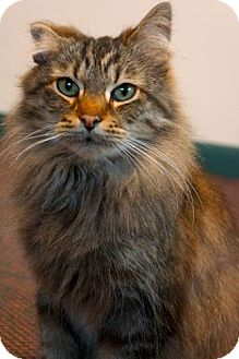 Domestic Mediumhair Cat for adoption in Williamston, Michigan - L Litter - Syrah (Mom)