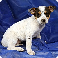 Adopt A Pet :: Kloe ShepTer - St. Louis, MO