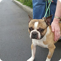 boston terrier rescue missouri seattle wa boston terrier meet mo a dog for adoption 6673