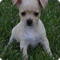 Adopt A Pet :: Penelope - La Habra Heights, CA