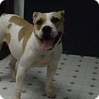American Bulldog Mix Dog for adoption in Camilla, Georgia - Priscilla