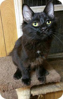 Domestic Mediumhair Cat for adoption in Morganton, North Carolina - Merry