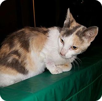 Domestic Mediumhair Cat for adoption in Wichita, Kansas - Sunshine