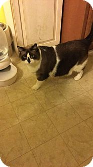 Snowshoe Cat for adoption in Devon, Pennsylvania - LA-Sebastian
