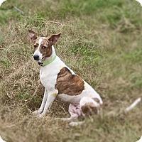 Adopt A Pet :: Bijili*A dog with a heart* - Monroe, NJ