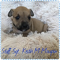 Pit Bull Terrier Mix Puppy for adoption in Newport, Kentucky - Staff Srgt Keith M Maupin