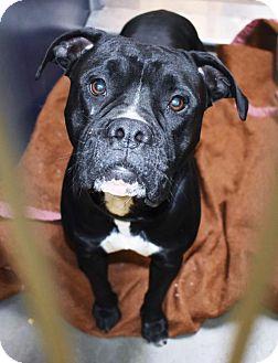 Boxer/Pit Bull Terrier Mix Dog for adoption in San Jacinto, California - Coal
